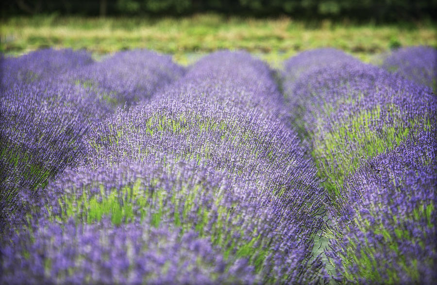 Lavender Blooms Photograph