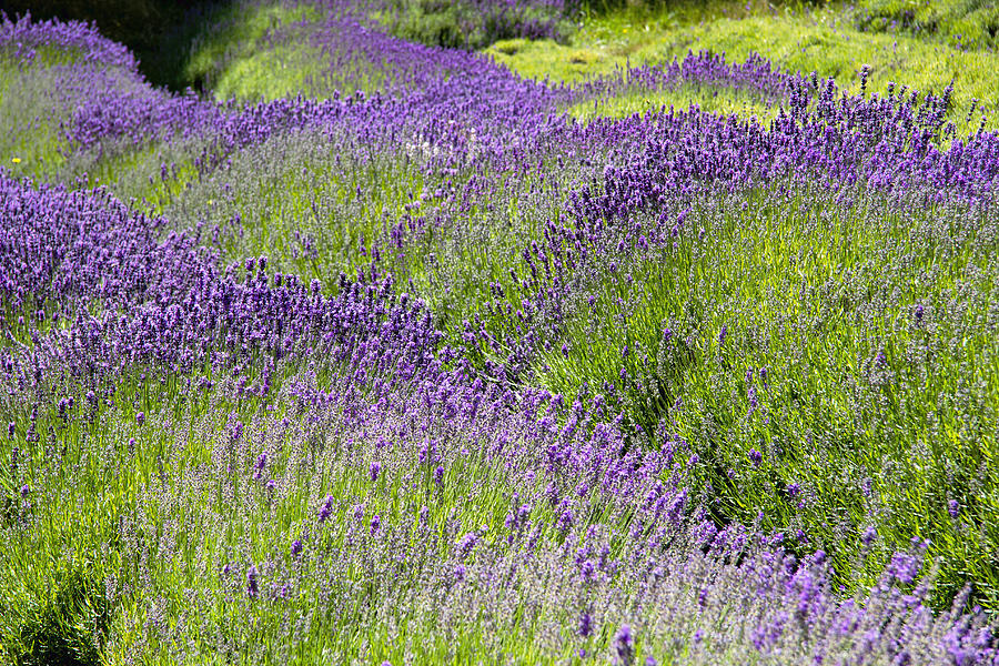 Lavender Day Photograph