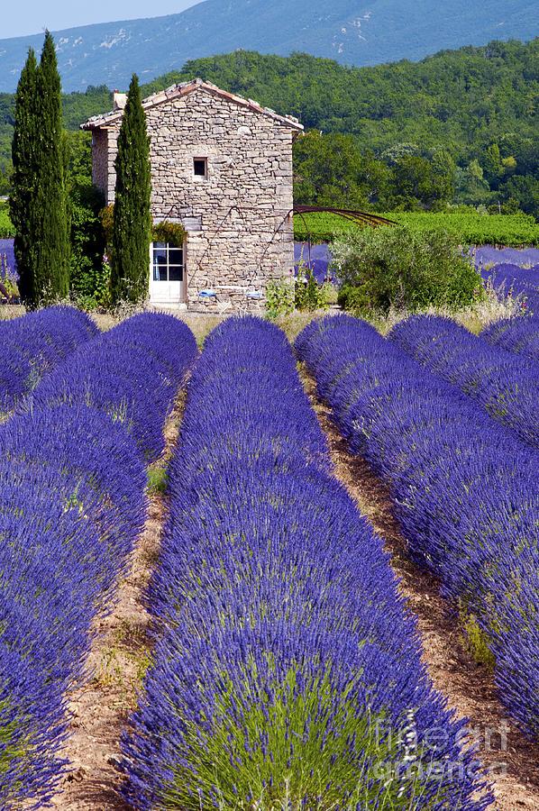 Lavender Farm Photograph