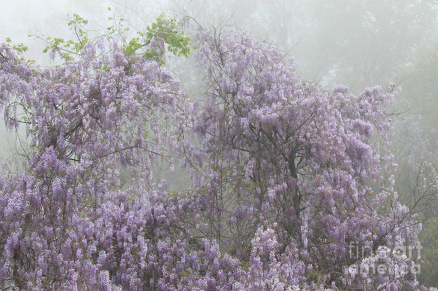 Lavender Wisteria Flowers In The Morning Fog Photograph - Lavender Fog by Leslie Kirk