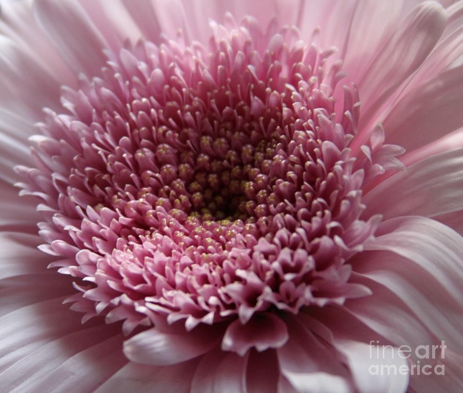 Lavender Gerbera Up Close Photograph