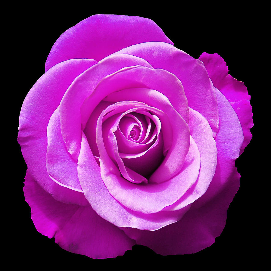 Rose Photograph - Lavender Rose by Aimee L Maher Photography and Art Visit ALMGallerydotcom