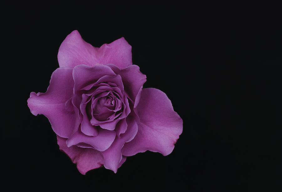 Lavender Rose Photograph