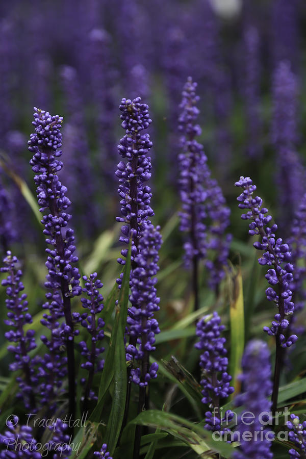 Lavender Photograph - Lavender by Tracy  Hall
