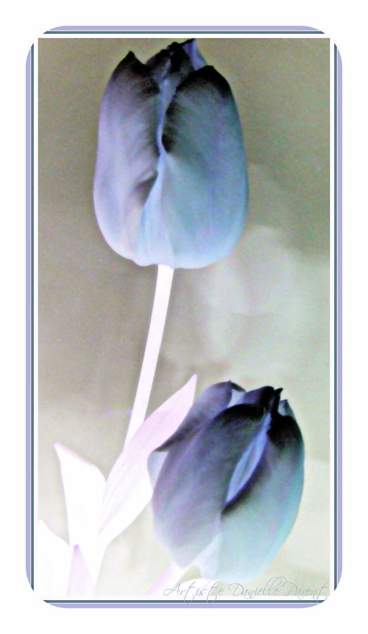 Lavender Tulips Photograph