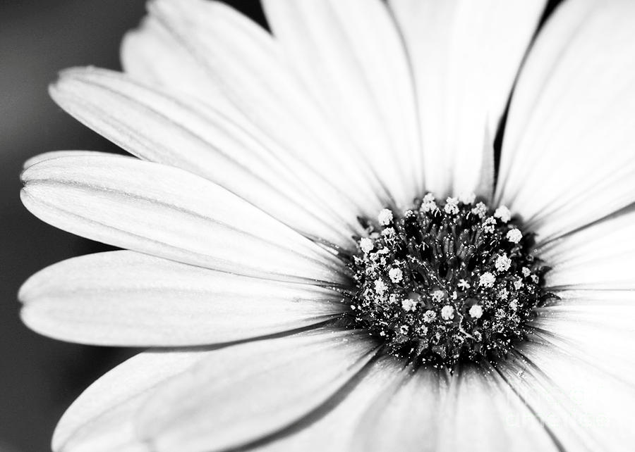 Lazy Daisy In Black And White Photograph