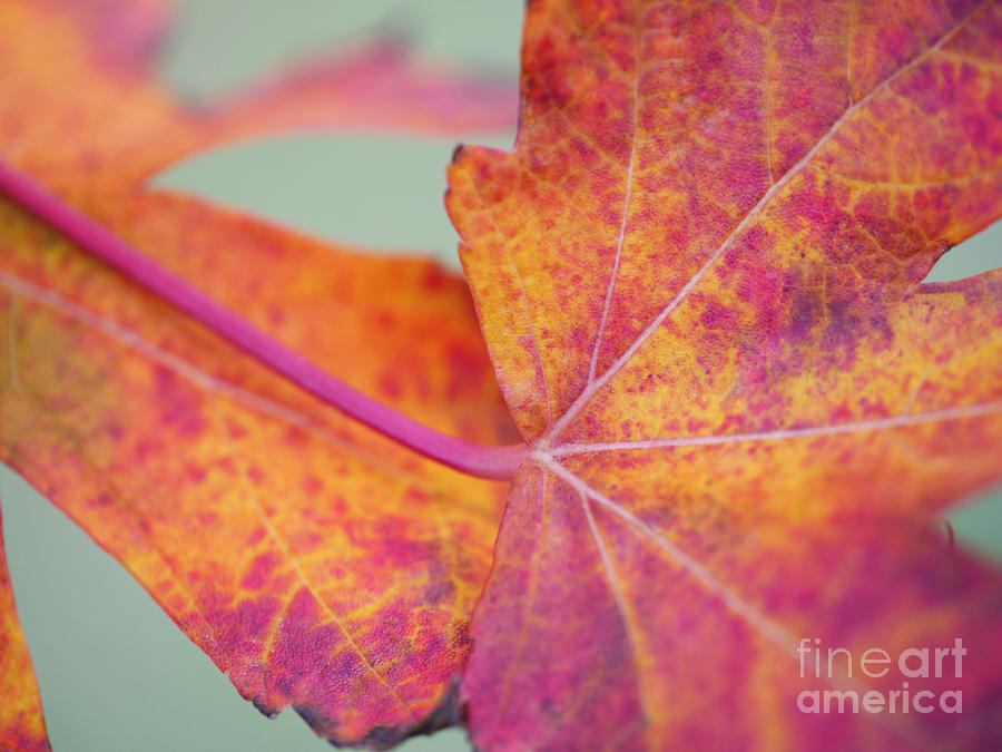 Leaf Abstract In Pink Photograph  - Leaf Abstract In Pink Fine Art Print
