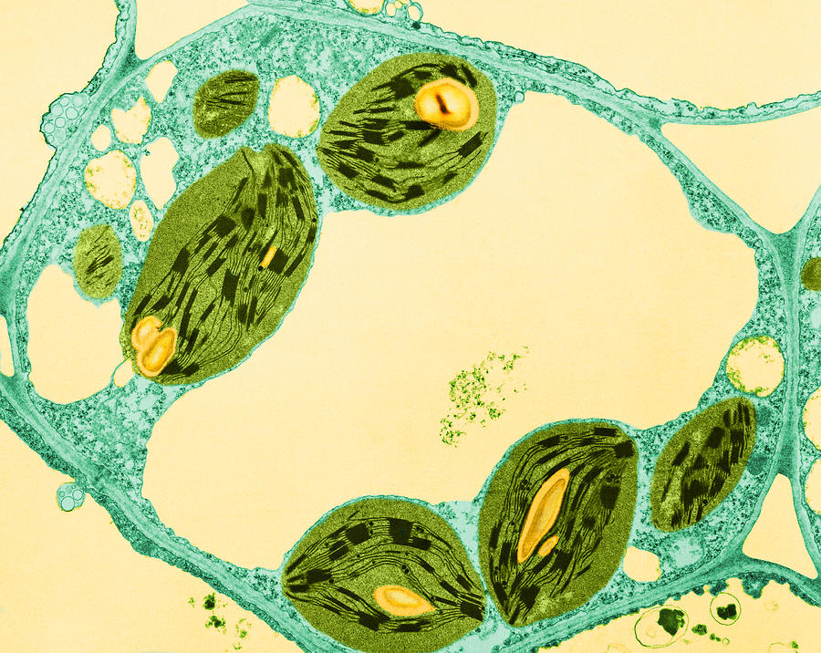animal and plant cell under electron microscope