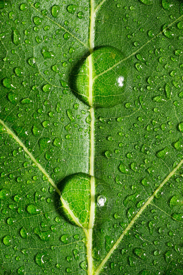 Leaf Dew Drop Number 10 Photograph  - Leaf Dew Drop Number 10 Fine Art Print