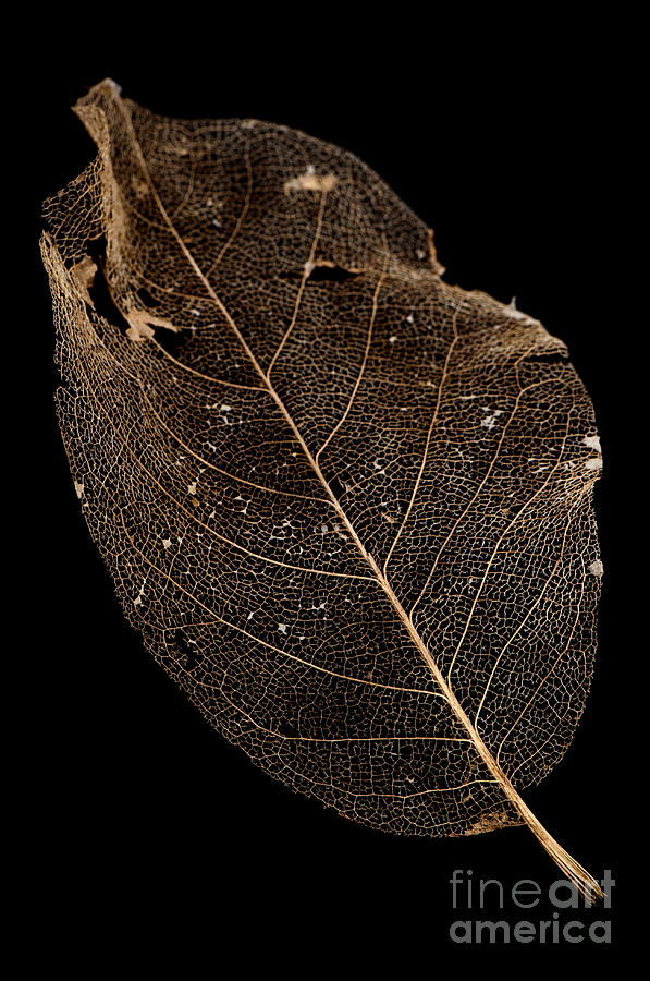 Leaf Lace Photograph