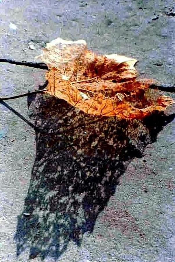 Leaf Lace Photograph