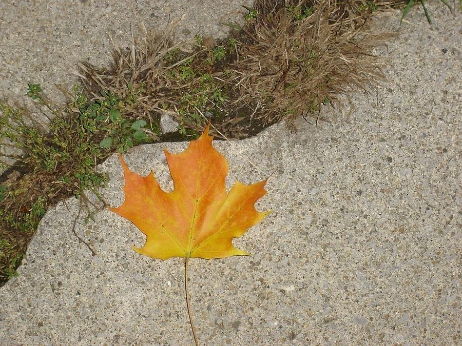 Leaf On Sidewalk Photograph