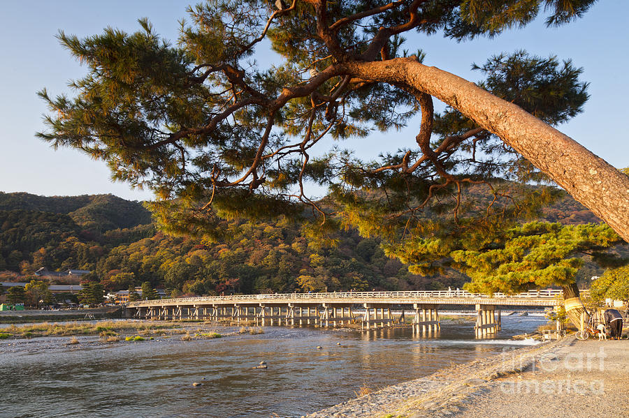 Arashiyama Photograph - Leaning Pine Tree Arashiyama Kyoto Japan by Colin and Linda McKie