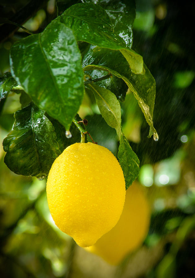 Lemon Down The Rain Photograph
