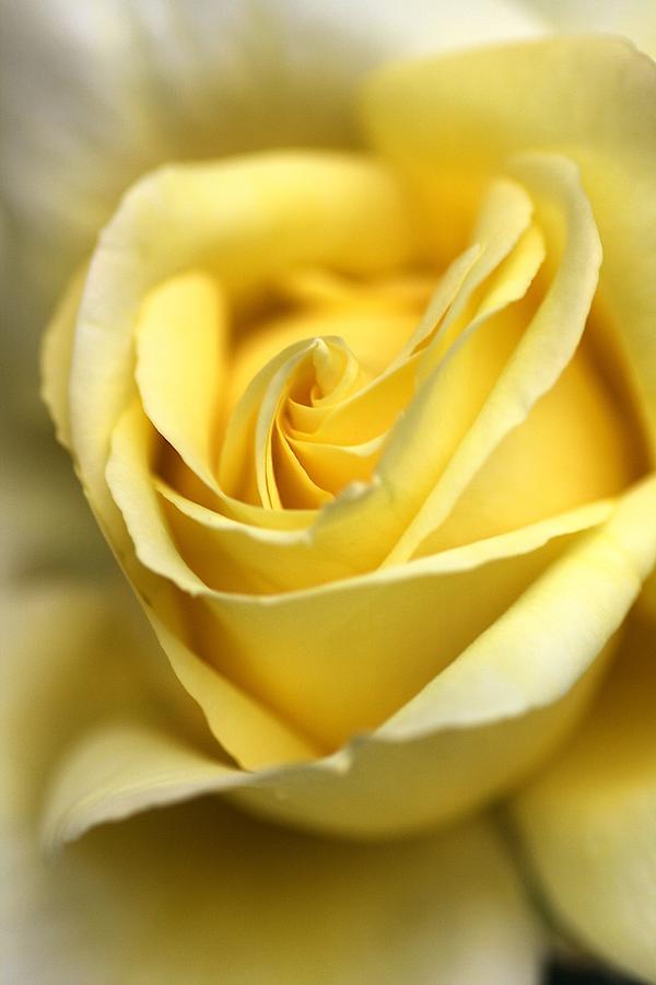 Rose Photograph - Lemon Lush by Joy Watson