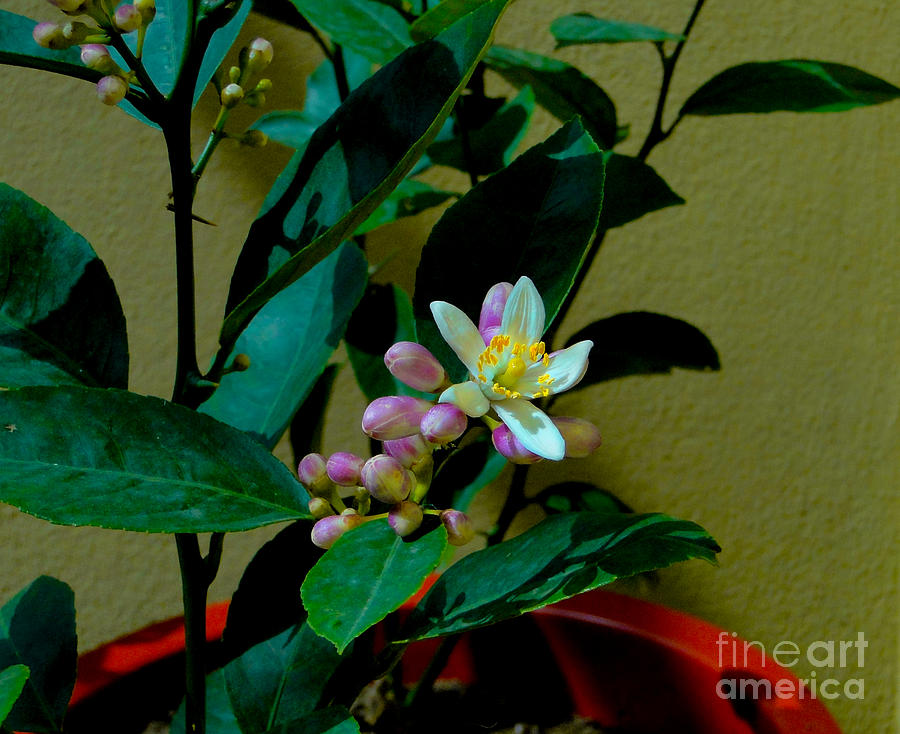 Lemon Tree Flower Photograph