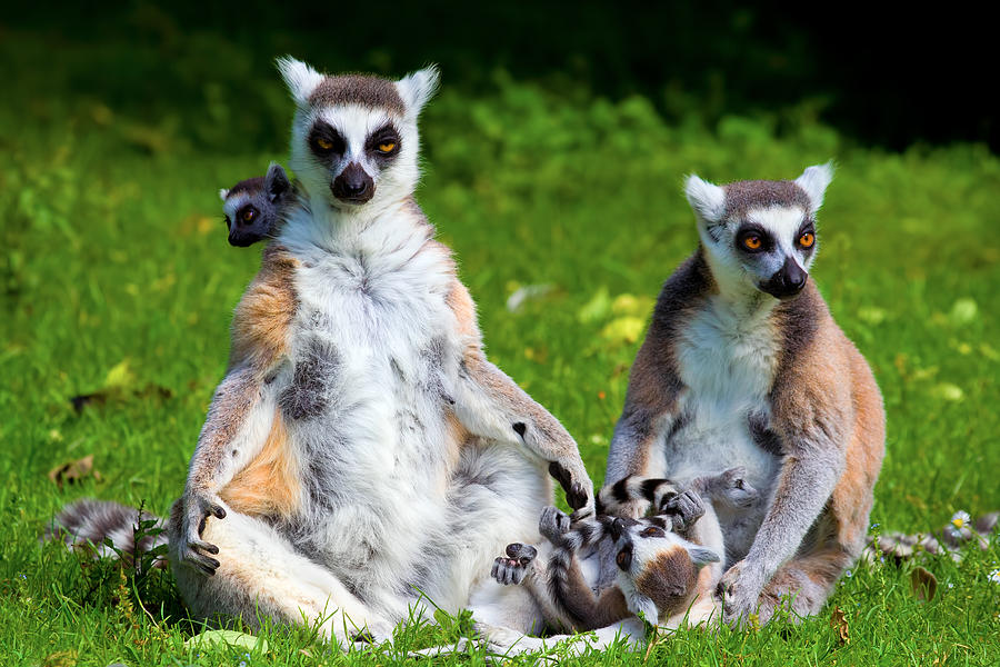 the lemur catta Lemur catta the most recognizable lemur cat-sized, the very long tail is the ring-tail's most distinctive feature, carried straight up with a cane-crook at the tip.