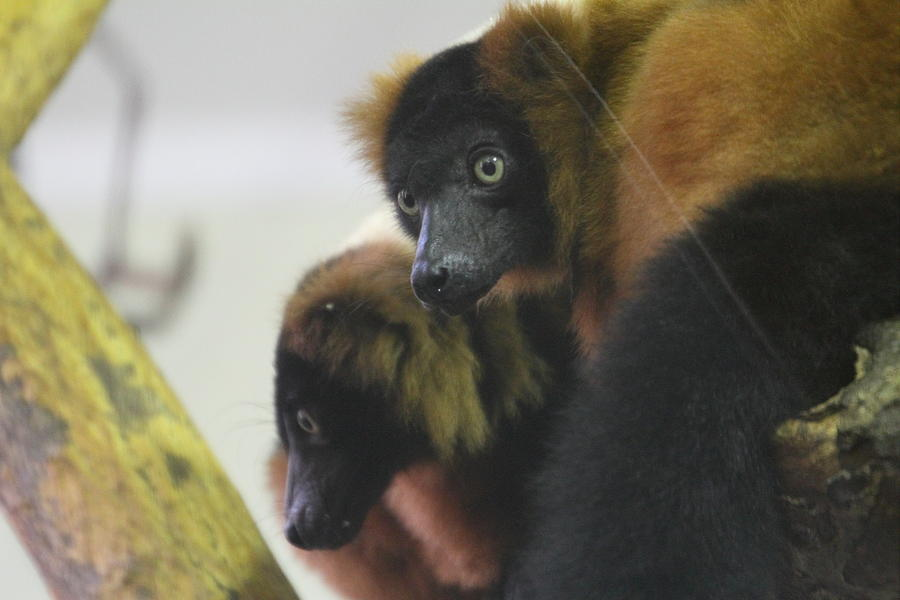 National Photograph - Lemur - National Zoo - 01131 by DC Photographer