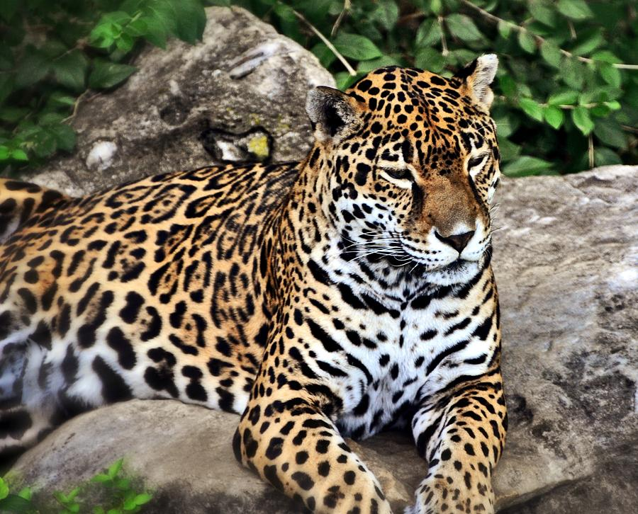 Leopard At Rest Photograph  - Leopard At Rest Fine Art Print