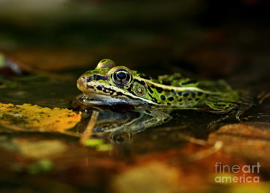Leopard Frog Floating On Autumn Leaves Photograph  - Leopard Frog Floating On Autumn Leaves Fine Art Print