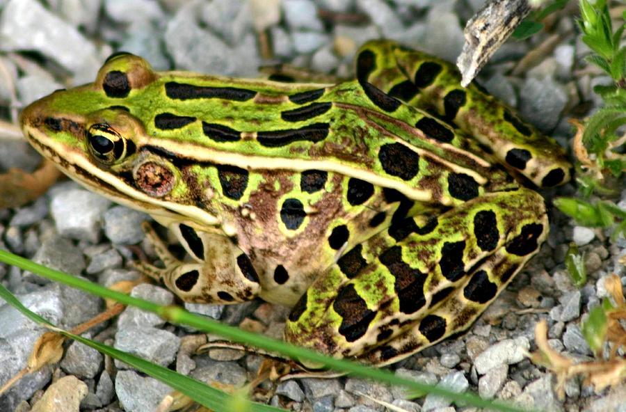 Leopard Frog Photograph