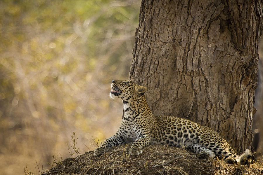 Leopard Gazing Up Photograph  - Leopard Gazing Up Fine Art Print