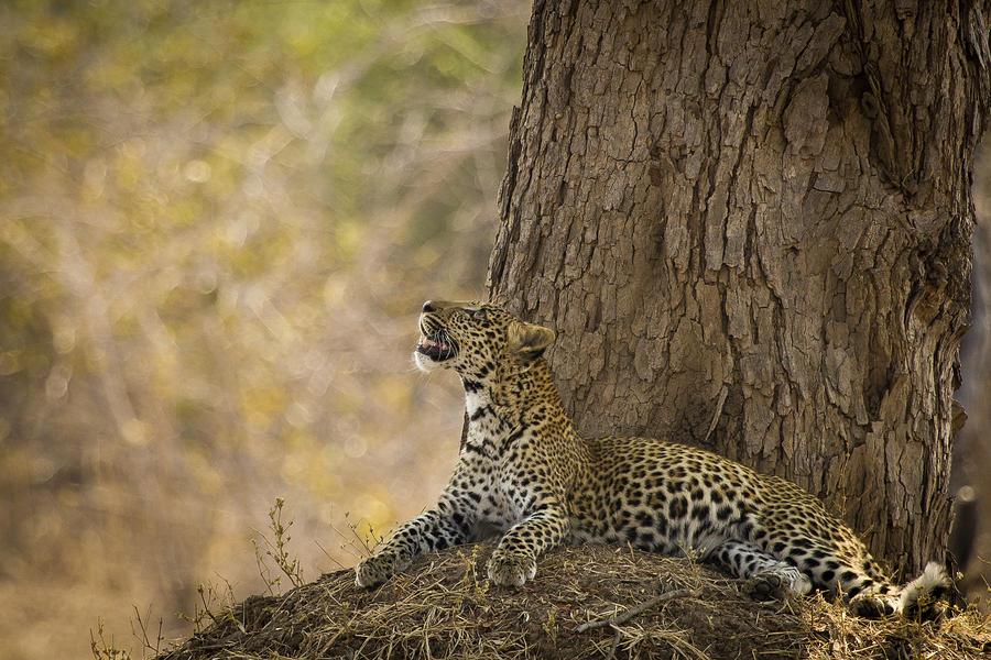 Leopard Gazing Up Photograph