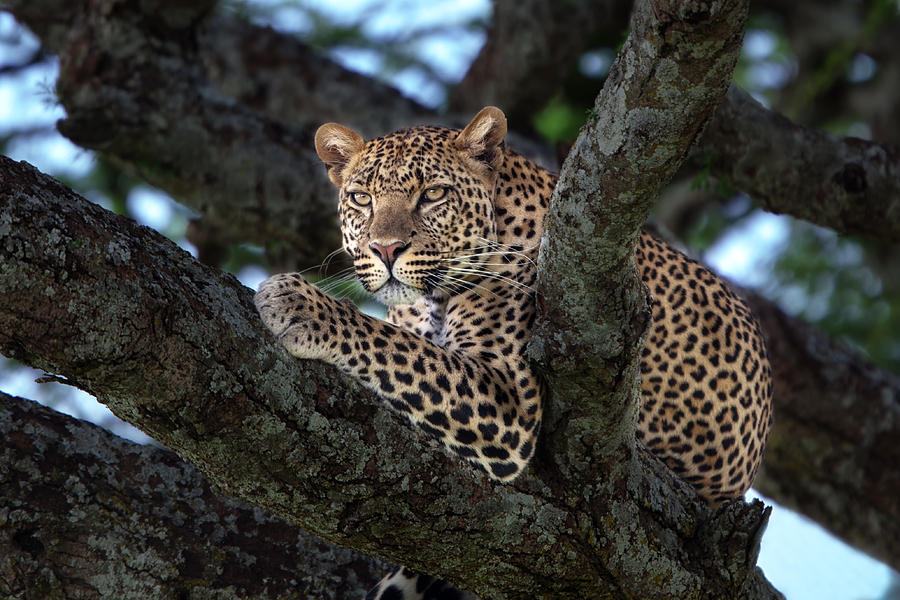 Leopard Male In A Tree In The Serengeti Photograph  - Leopard Male In A Tree In The Serengeti Fine Art Print