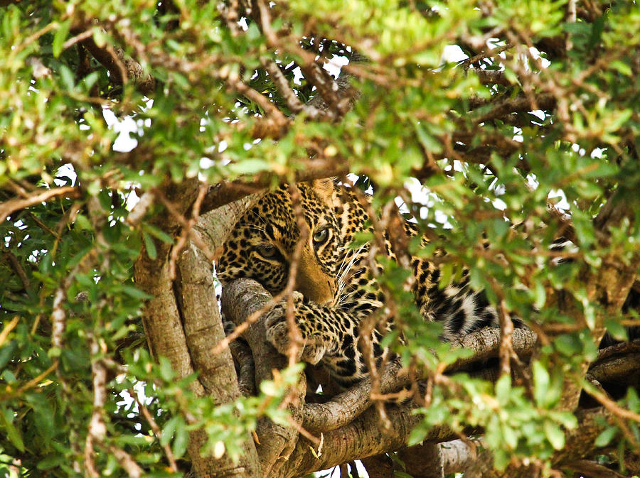 Leopard On Tree Pyrography  - Leopard On Tree Fine Art Print