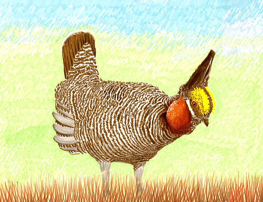 Lesser Prairie Chicken Painting