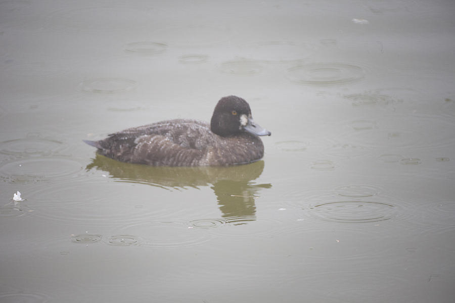 Lesser Scaup Female Photograph