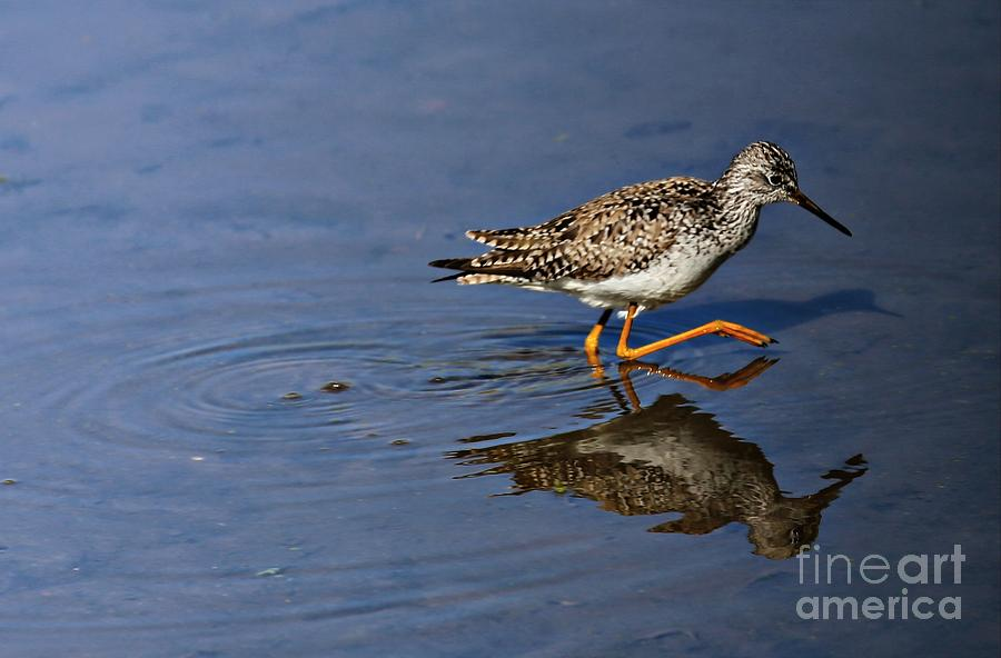 Lesser Yellowlegs Photograph  - Lesser Yellowlegs Fine Art Print