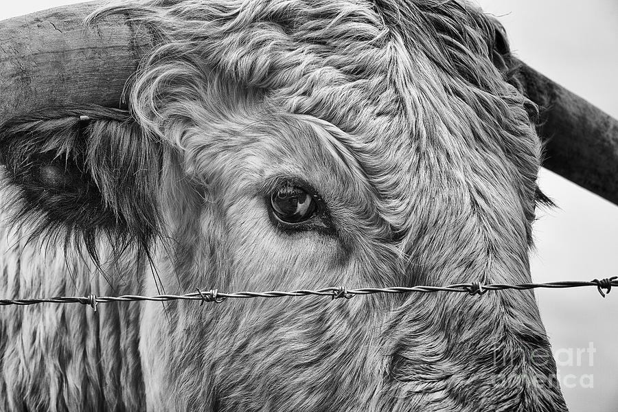 Cadzow Cattle Photograph - Let Me Go Free by John Farnan