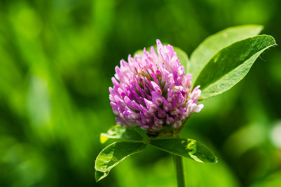 Let Us Live In Clover - Featured 3 Photograph