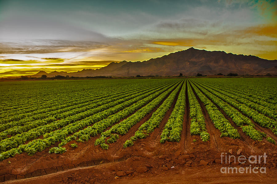 Winter Lettuce Photograph - Lettuce Sunrise by Robert Bales