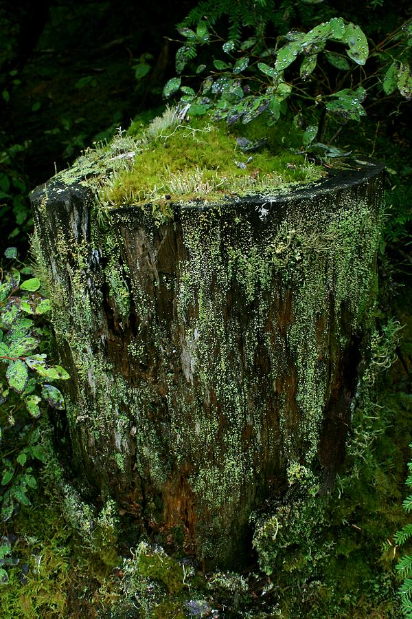 Lichen And Moss Covered Stump Photograph