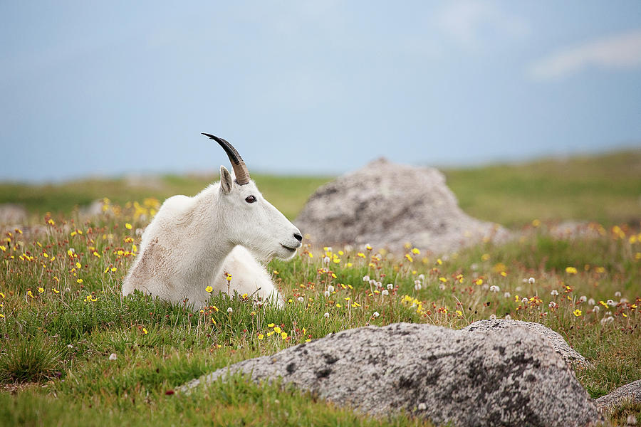 Billie Goat Photograph - Lie Down In Green Pastures by Jim Garrison