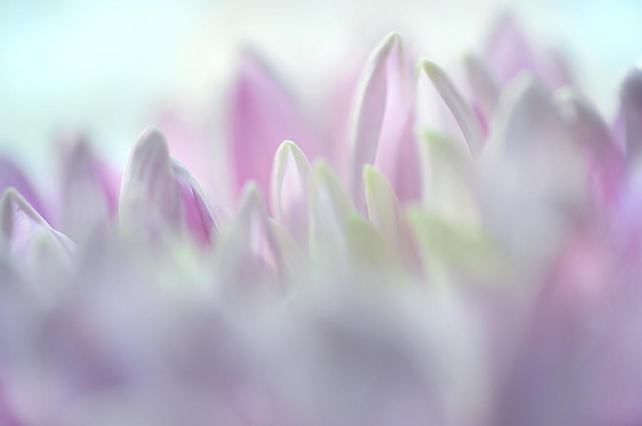 Light Impression 2. Pink Chrysanthemum  Photograph
