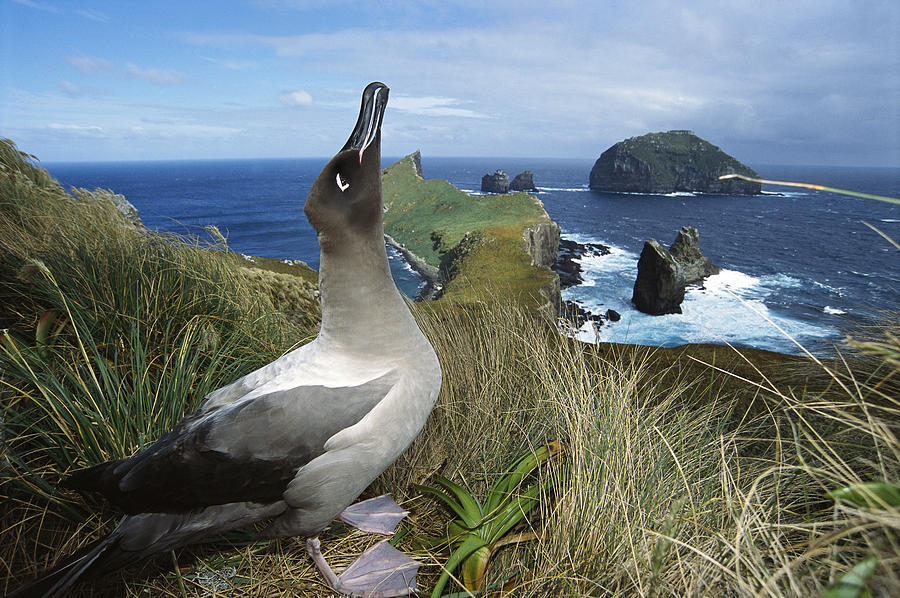 Feb0514 Photograph - Light-mantled Albatross Sky-pointing by Tui De Roy