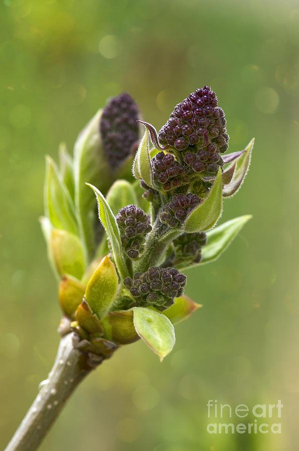 Lilac Bulb  Photograph