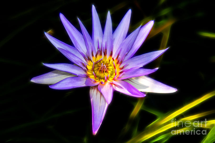 Lilac Lily Photograph - Lilac Lily by Mariola Bitner