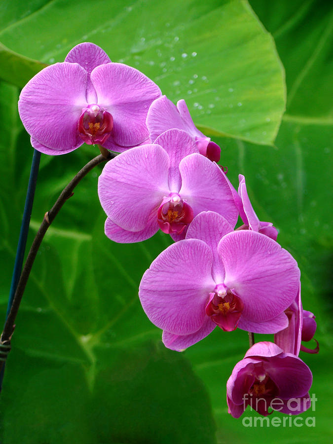 Lilac Orchid Beauties Photograph