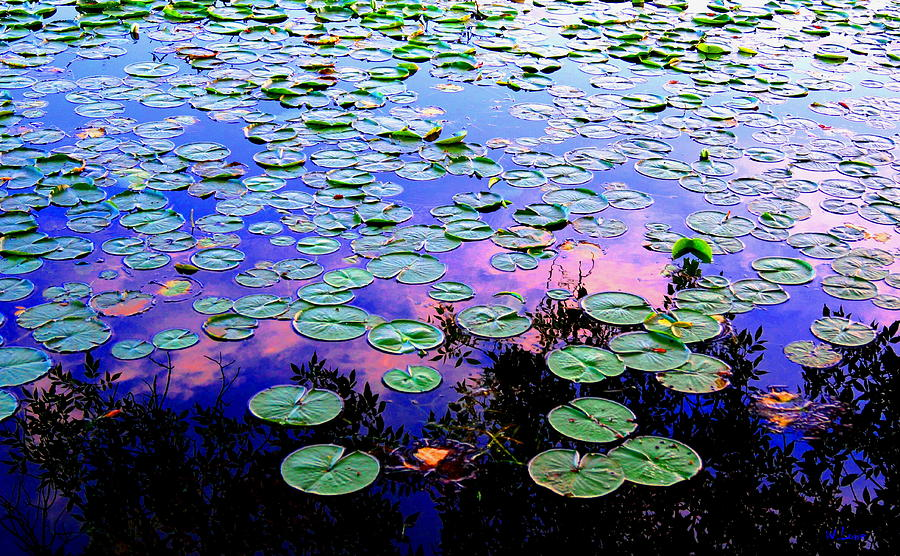 Lilly Pad Sunset Photograph