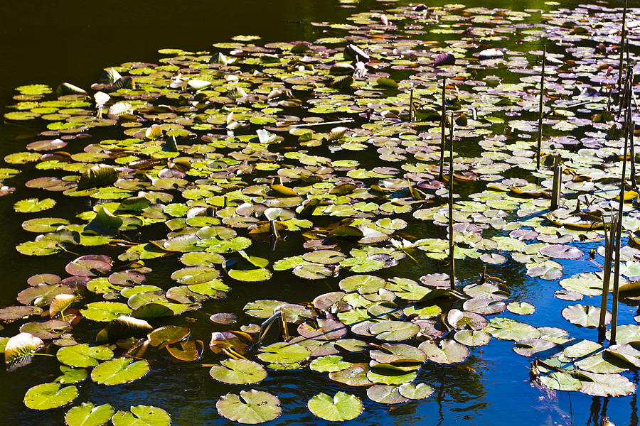 Lilly Pads Photograph