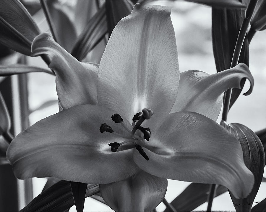 Lily 16 Photograph