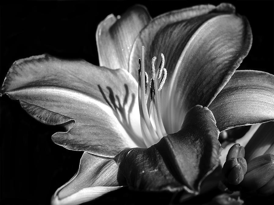 Lily In Black In White Photograph