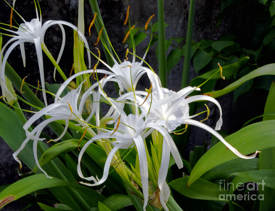 Lily Monster Photograph