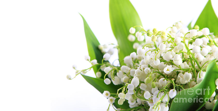 Lily Of The Valley Art Photograph