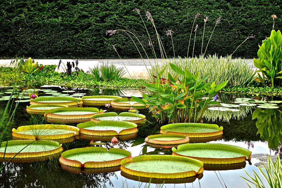 Lily Pad Garden Photograph