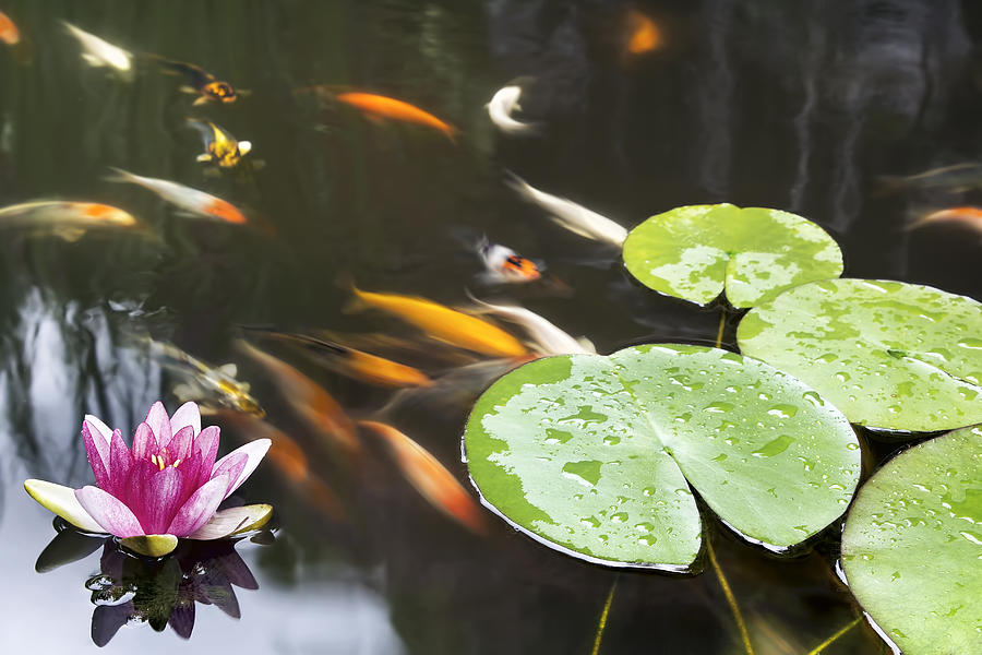 Lily Pad Pink Flower In Koi Pond is a photograph by JPLDesigns which ...